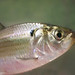American Gizzard Shad - Photo (c) NatureServe, some rights reserved (CC BY)