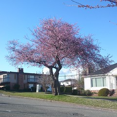 Let the cherry blossoming begin! #eastvan