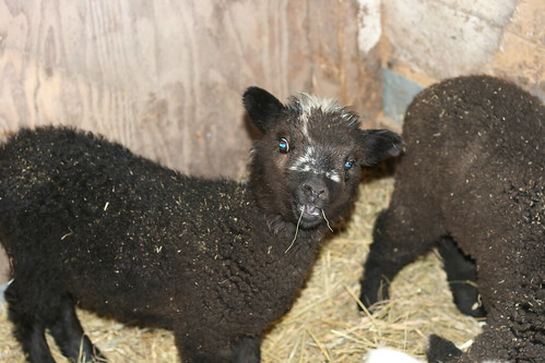 Rebel: the Lamb I Got To Name