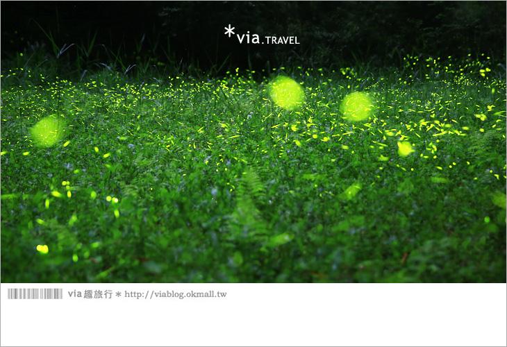【台中螢火蟲】東勢林場螢火蟲~賞螢必遊!滿滿的螢火蟲閃爍夢幻光芒8