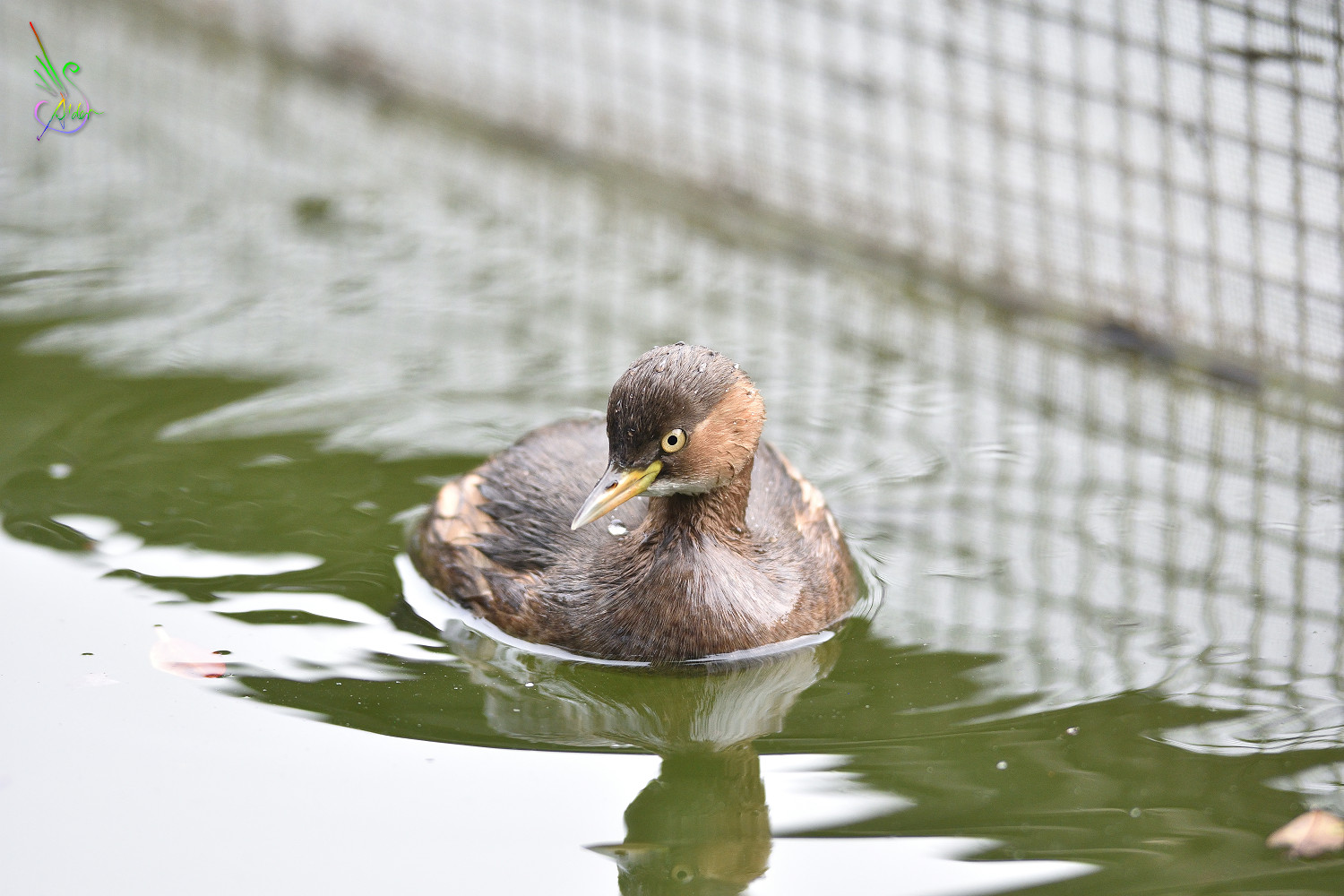 Little_Grebe_5629