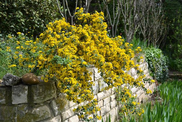 Coronilla glauca (= C. valentina subsp. glauca) - coronille glauque 32793725533_002c91afdf_z