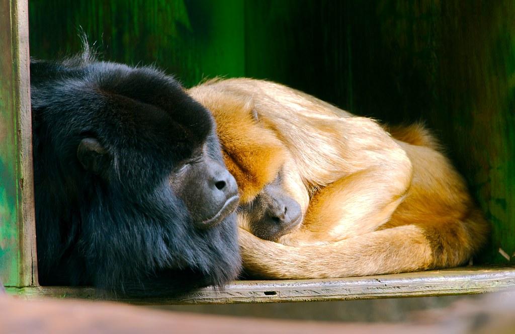 Black Howler Monkey_2