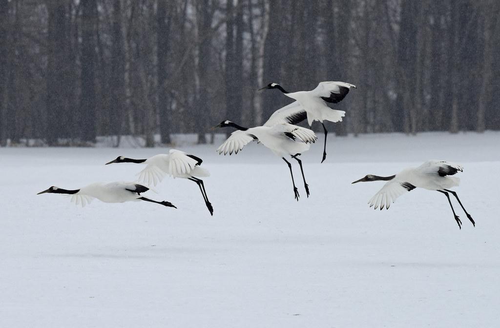 Landing of red-crowned cranes in snowfall