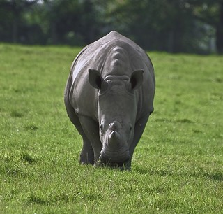 Close-up of Rhinoceros From Front View