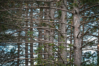 Trees, Hartley Trails, Duluth
