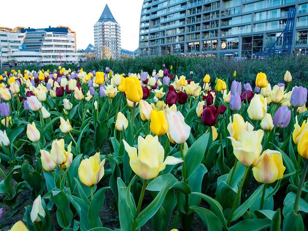 Flowers. #rotterdam #tulips #rottergram #travelphoto #photography #netherlands #rotterdamcity
