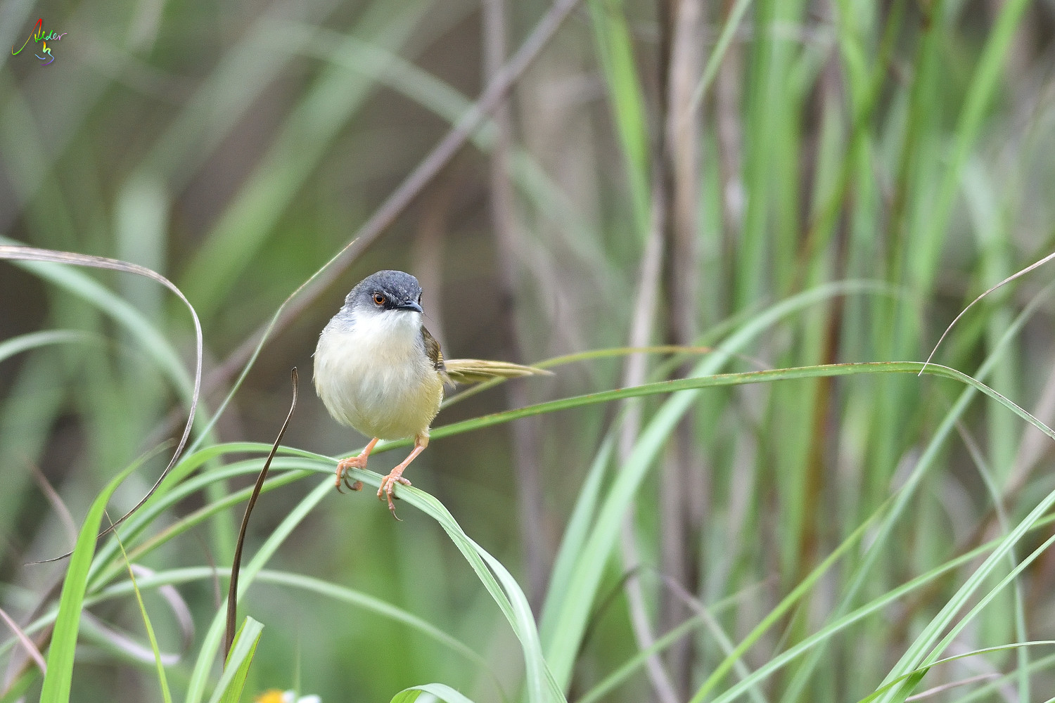 Yellow-bellied_Prinia_3681