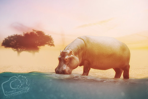 Close up on hippo drinking water