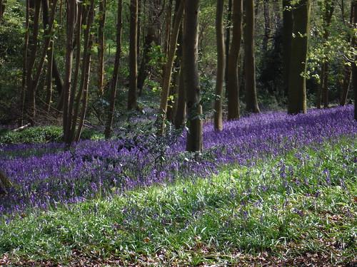 Bluebells in Bradenham Beeches