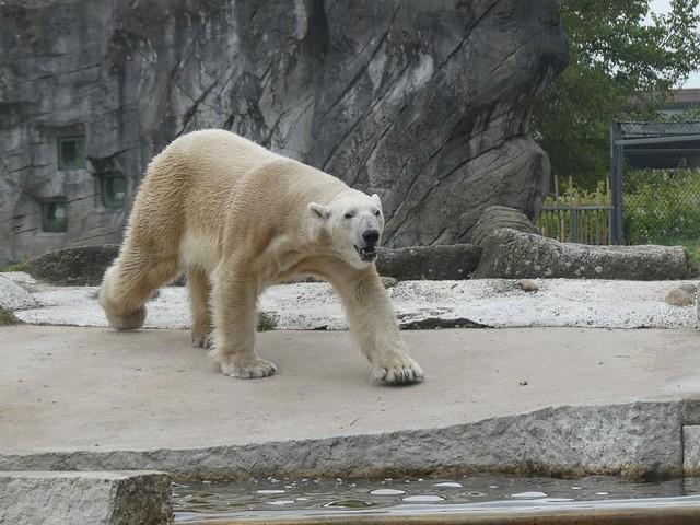 Eisbär Kap, Zoo Karlsruhe