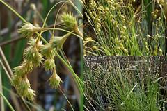 Carex straminea Willd. ex Schkuhr - eastern straw sedge