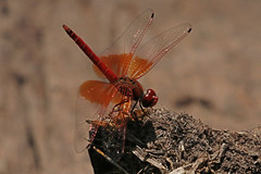 Red-veined Drop Winged Dragonfly