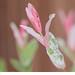 "Salix integra ""Hakuro Nishiki"" by Cozy Memories"