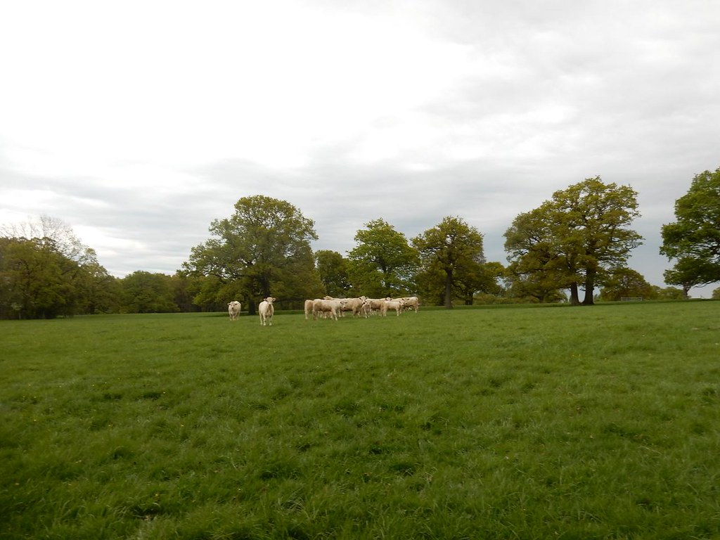 Scary cows They ran away from me but tried to harass the next group! Hever to Ashurst