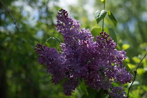 Lilacs by susanvg