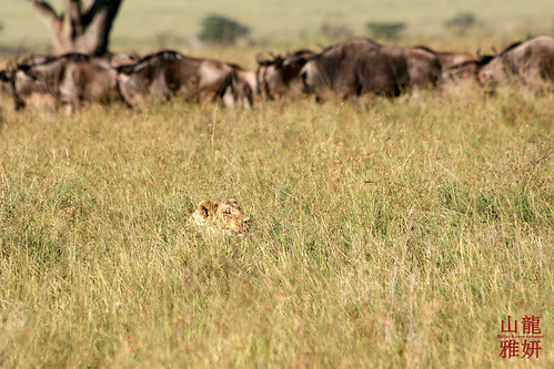africa tanzania safari serengetinationalpark bluewildebeest connochaetestaurinus thegreatmigration