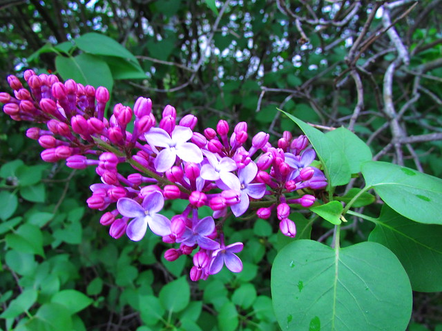 First Lilacs of 2013