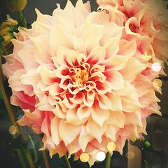 Favorite flower ever... #dahlia.  #flowers #greenthumb #beautiful #pink