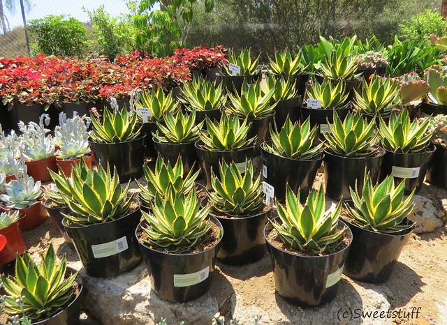 Backlit agaves