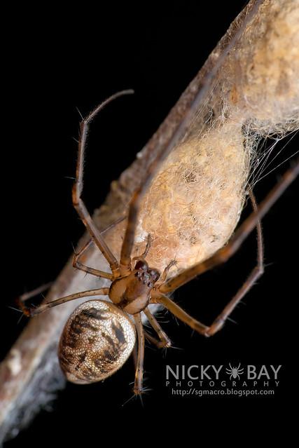 Big-Jawed Spider (Tetragnathidae) - DSC_7193