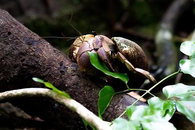 Indo hermit crab