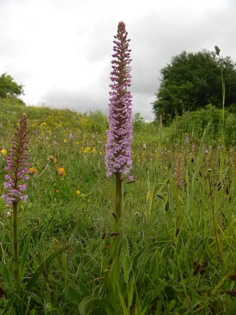 Orchids, Noar Hill