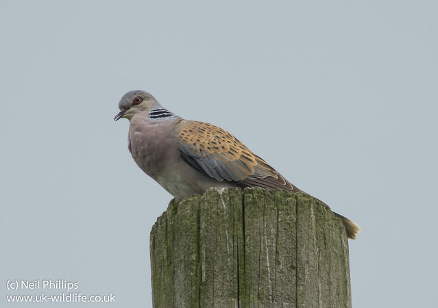 Turtle dove Streptopelia turtur-3
