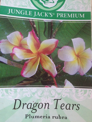 Dragon Tears Plumeria