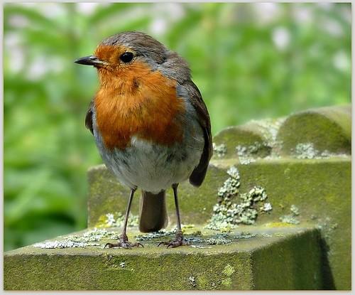 Dundee Robin