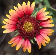 gaillardia, asterales, annual plant, flower, plant, macro photography, flora, close-up, petal,