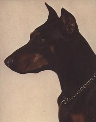 animal, dog, manchester terrier, dobermann, pet, mammal, guard dog, pinscher,