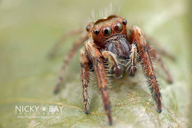 Jumping Spider (Salticidae) - DSC_1024