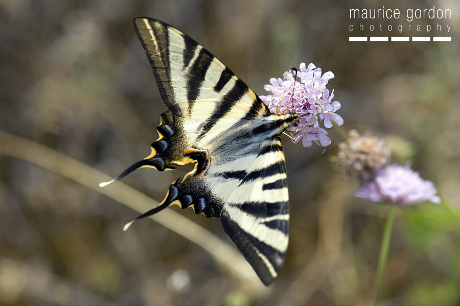 scarce swallowtail-ceret_DSC4685