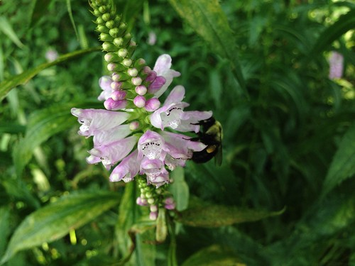 Obedient Plant and Bee