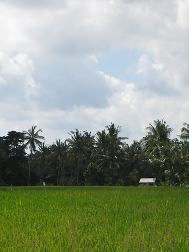 rice paddy postcard