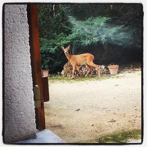 #petite #visite #du #matin #surprise #chevreuil #biche #beauté #naturelle #instagram #photo #picture #picoftheday#animal #animastagram