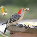 Red-Bellied Woodpecker by Lightkeepers Journal