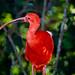 Scarlet Ibis (Eudocimus ruber) ©berniedup
