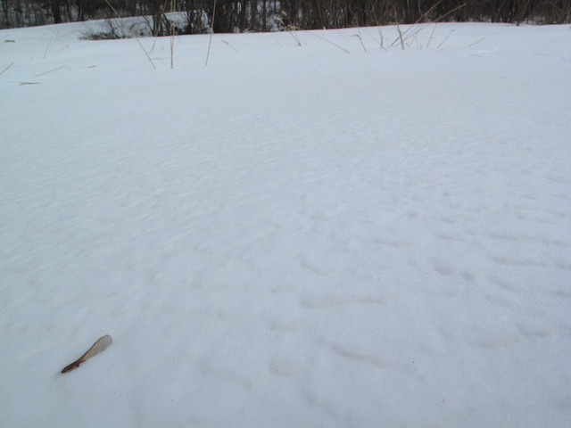 雪の上にカラコギカエデノの種子がぽつんと.