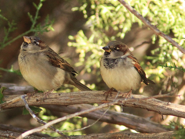 House Sparrows 20131102