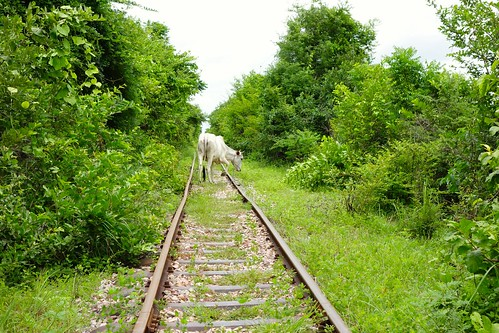 Cows on the track…. Bamboo Train in Battambang, Cambodia