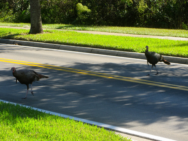 turkeys crossing the road