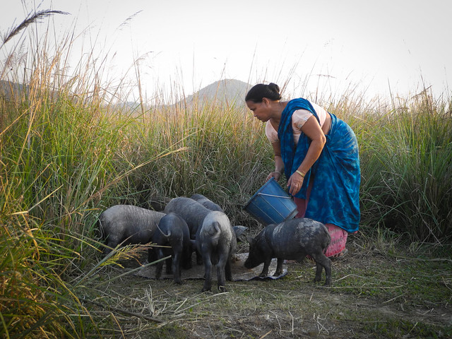 Many have started rearing pigs for additional income support as the fish numbers deteriorate and their livelihood is on stake
