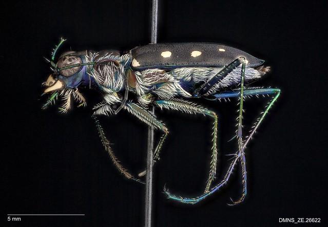 Cicindela ocellata rectilatera - Male