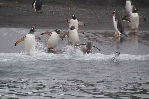 351 Ezelspinguins en kinbandpinguin