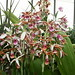 pink and tan orchid