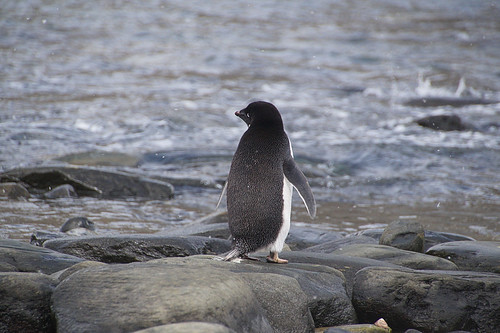 139 Elephant Island - Point Lookout Adeliepinguin