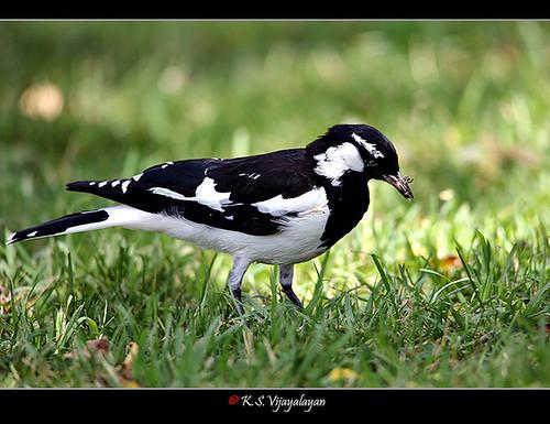 Magpie-lark