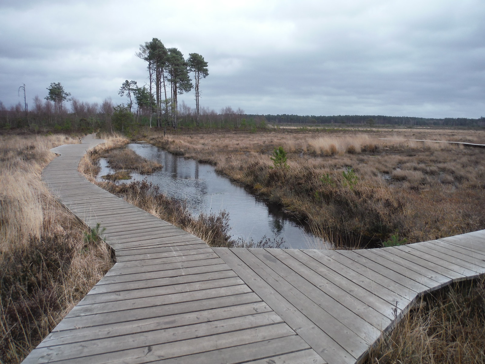 Fork in Boardwalk through Bog, Thursley Common SWC Walk 144 Haslemere to Farnham - Thursley Common Extension (Pudmore Pond Extension-within-the-Extension)